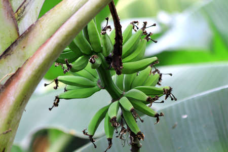 plantain: Green and Growing Plantain Stock Photo