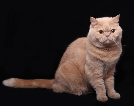 persian green: Adult cat isolated over black background