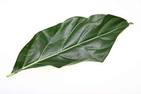 morinda: Nori Leaf Stock Photo