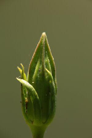 flower bud close