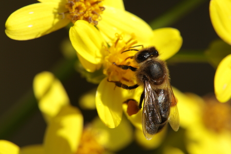 stamen wasp: bee on a yellow flowers