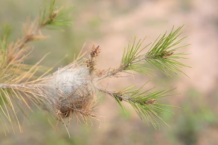 Processionaire nest op de tak van een den
