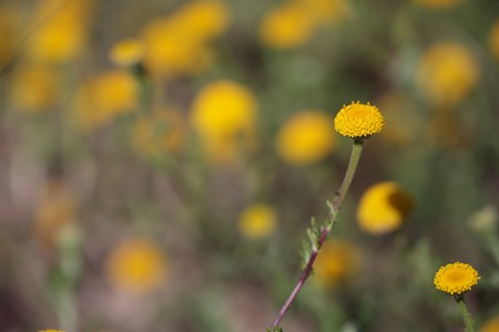 pistils: Pistils daisies on a green-brown in spring