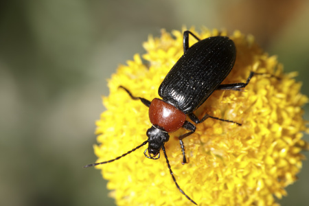 coleoptera: Red insect on a flower head Stock Photo