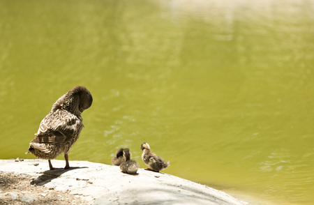 brood: duck with her brood in a pond Stock Photo
