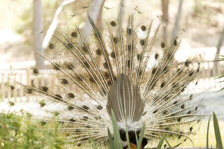 peahen: Peacock in a park of Guardamar del Segura, Spain Stock Photo