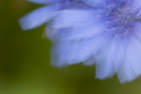 Gentian blue flower Moved by wind