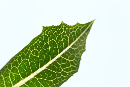 limbo: veins of the leaf of a plant backlit