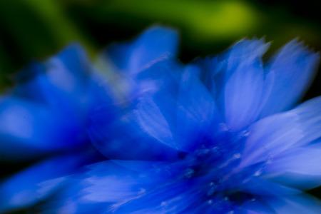 gentian flower: Gentian blue flower Moved by wind