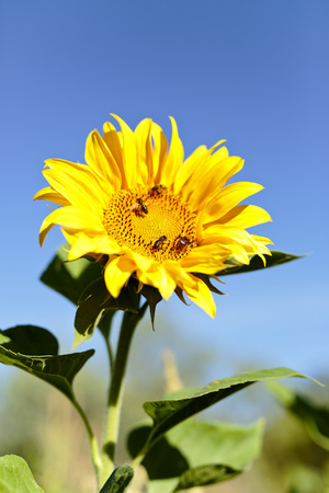 helianthus: With Sunflower bees in summer. Vertical Take naturally with light. Stock Photo