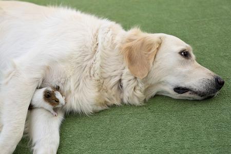 animalitos tiernos: Dog breed Golden Retriever with a Guinea pig on the.