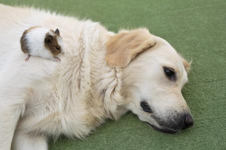 animalitos tiernos: Perro de la raza Golden Retriever con un conejillo de Indias en el.