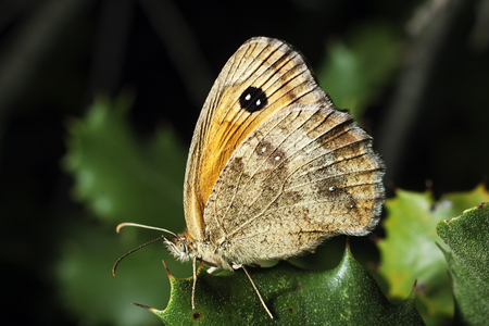 macrophotography: Butterfly Pyronia cecilia on the leaves of a scrub. Horizontal macrophotography with artificial light.