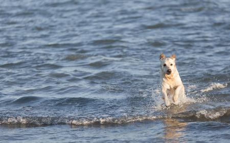 Golden retriever running through the sea water towards the shore. Take in Santa Pola, province of Alicante in Spain.