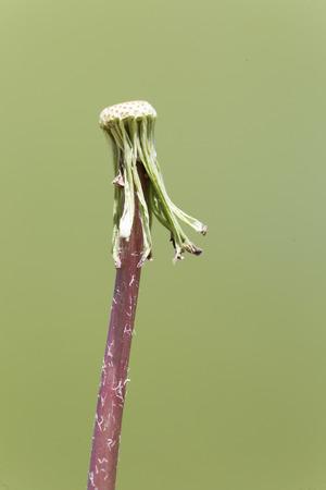 Taraxacum officinale commonly known as dandelion. Take in Castilla la Mancha, Spain Stock Photo