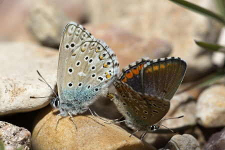 Couple of Common blue butterflies copulating in spring. Scientific name Polyommatus icaro.