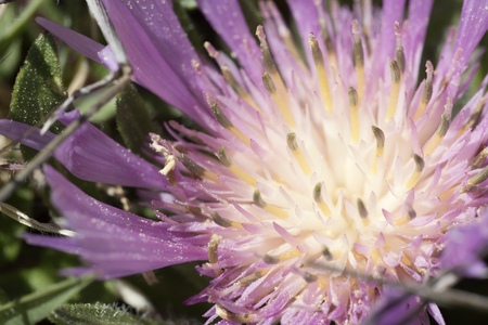 Wild flower of the family Centaurea. Photo taken in the Sierra del Segura, Albacete, Spain.