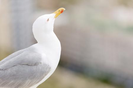 Seagull in the castle of Santa Barbara in Alicante, Spain.