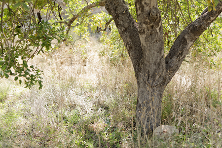 Trunk of a carob tree in the field of Elche, Alicante province in Spain.
