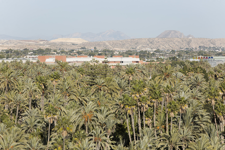 Palm grove of elche with more than 200.000 specimens, is the largest palm grove in Europe. Stock Photo
