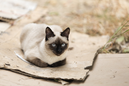 Siamese cat relaxed on the outside of a country house. Horizontal shot with natural light
