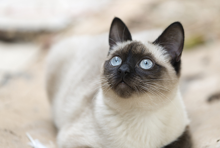 Siamese cat alert to what happens around him. Horizontal shot with natural light Banque d'images
