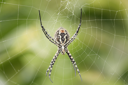 The spider species Argiope aurantia is commonly known as the yellow garden spider