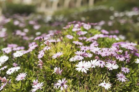 Flower group Osteospermum is a genus that belongs to the Calenduleae tribe. Taken in San Vicente Raspeig in Spain. Stock Photo