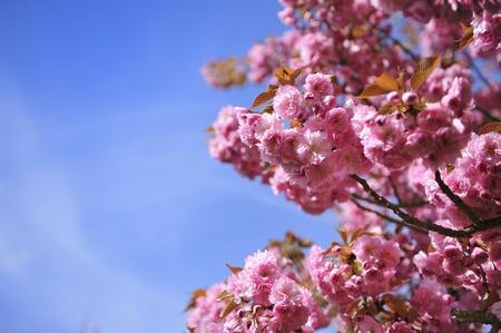 arbres: cerisier japonais en fleur Au Printemps