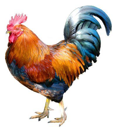 cockerel: Orgogliosa ricerca magnifico gallo  Archivio Fotografico