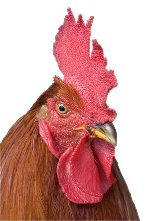 Portrait of a cock looking at the camera Stock Photo - 4968100