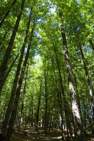 chestnut tree: Huge tree canopy in an old chestnut tree forest