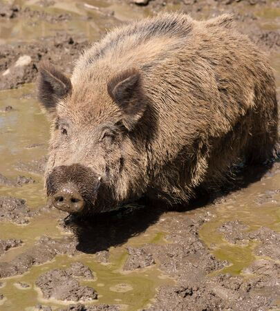 Wild boar in a muddy puddle photo