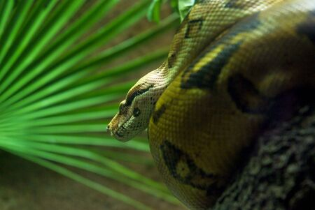 sliding scale: Boa constrictor on a tropical background