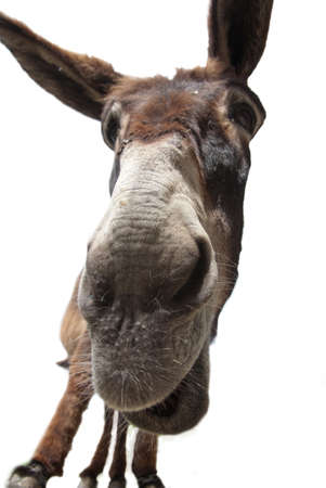 Close up Portrait of a donkey  isolated on white Stock Photo - 9948467