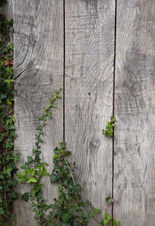 weather beaten: Close up shot on an old wooden wall with ivy Stock Photo
