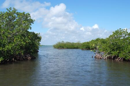 mangrove: Mangrove in Yucatan peninsula, Mexico Stock Photo