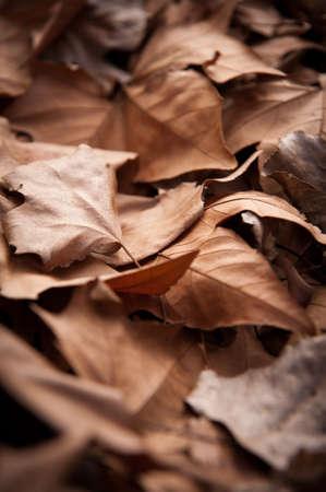 dead leaves: Las hojas muertas tiro ideal para fondos y texturas