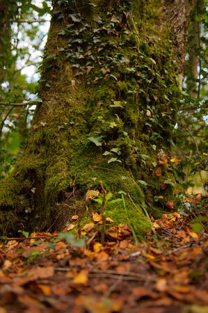 Moss and ivy covered tree trunk in the forest photo