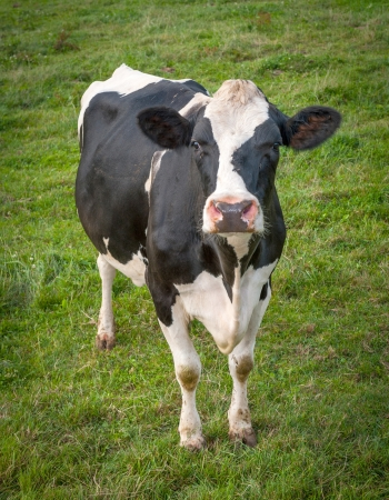 dairy farm: Little calf in the meadow Stock Photo