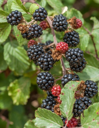 brambleberry: Blackberry grupo en el monte