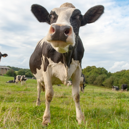 dairy cattle: Cow, farm, Cattle, stock, livestock, ranching, stockbreeding, agriculture, dairy farm, herd,field, animal, pasture, green, meadow, outdoors, rural scene, mammals, dairy cattle , bovine , grazing, ruminant, grass, calf