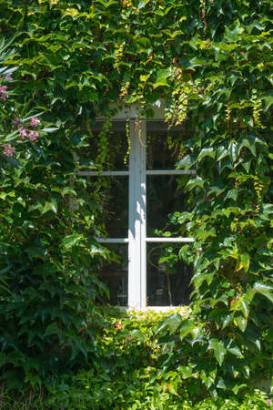 ade: Window in an ivy covered fa�ade Stock Photo