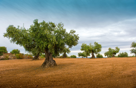 arboleda: Campos de olivo con tierra roja Foto de archivo