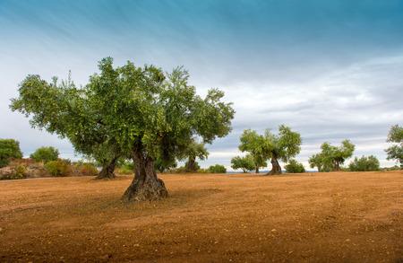 Olijfboom velden met rode aarde