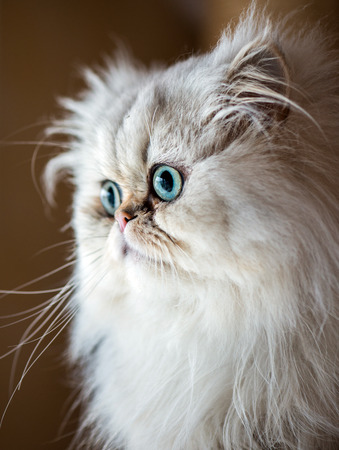 cute kittens: Beautiful Persian cat with white fur and gree-blue eyes