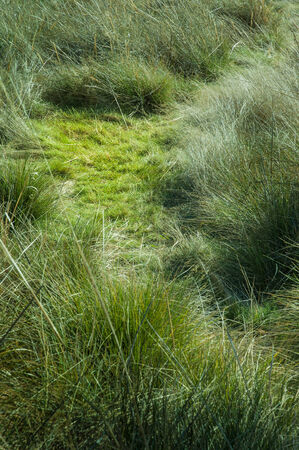 flattened: Wild grass with a flattened patch Stock Photo