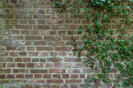 Old Ivy covered brick wall