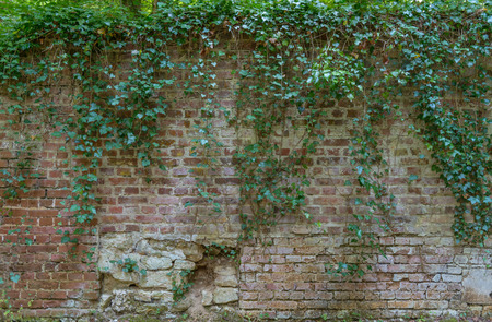 creeper: Old Ivy covered brick wall