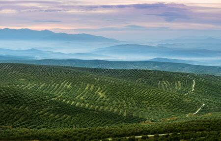 monoculture: Beautiful landscape with rolling hills covered in olive trees, in Jaen province, Spain.